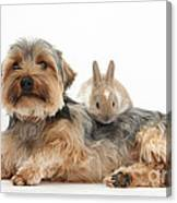 Yorkshire Terrier Dog And Baby Rabbit Canvas Print