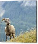Young Bighorn Sheep, Windy Point Canvas Print