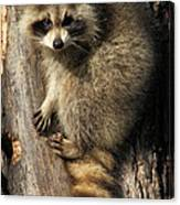 Young Raccoon Canvas Print