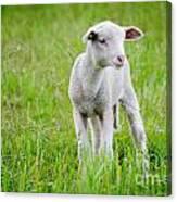 Young Sheep Canvas Print