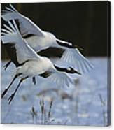 A Pair Of Japanese Or Red-crowned Canvas Print