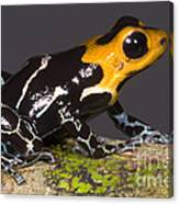 Crowned Poison Frog Canvas Print