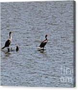 Double-crested Cormorant Canvas Print