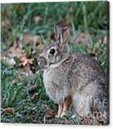 Eastern Cottontail Rabbit Canvas Print