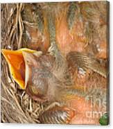Newborn Robin Nestlings Canvas Print