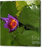 Waterlily Opening Part Of A Series Canvas Print