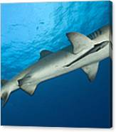 Whitetip Reef Shark, Kimbe Bay, Papua Canvas Print