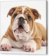 Bulldog Pup Canvas Print