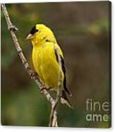 Finch Canvas Print