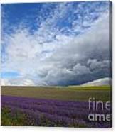 Lavenders Canvas Print
