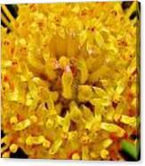 Pincushion Blossom Canvas Print