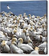 Gannet Colony Canvas Print