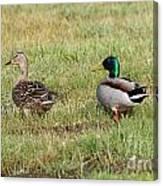 Mallard Ducks Canvas Print