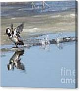 Hooded Merganser Canvas Print