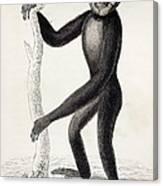 1833 Jardine Hylobates Hoolock Gibbon Canvas Print