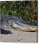 19- Alligator Canvas Print
