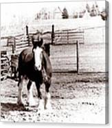 1900  Clydesdale Horse Canvas Print
