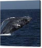 A Breaching Humpback Whale Canvas Print