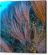 A Colony Of Red Whip Fan Corals Canvas Print