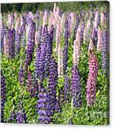 A Field Of Lupins Canvas Print