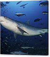 A Large 10 Foot Tiger Shark Swims Canvas Print