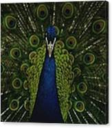 A Male Peacock Displays His Beautiful Canvas Print