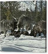 A Pack Of Gray Wolves, Canis Lupus Canvas Print