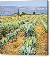 Agave Cactus Field In Mexico Canvas Print