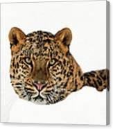 Amur Leopard In Snow Canvas Print