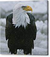An American Bald Eagle Stands Canvas Print