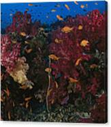 Anthias Fish Swim Near A Reef Wall Canvas Print