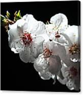Apricot Flowers At Night Canvas Print