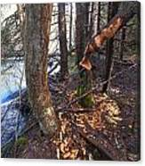 Beaver Marks Canvas Print