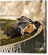 Bird Bath Fun Time Canvas Print