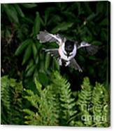 Black-capped Chickadee In Flight Canvas Print