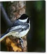 Blackcapped Chickadee Canvas Print