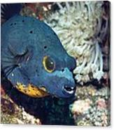 Blackspotted Puffer Canvas Print