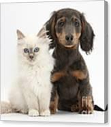 Blue-point Kitten & Dachshund Canvas Print