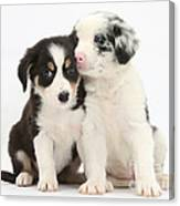 Boreder Collie Puppies Canvas Print