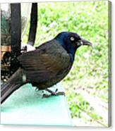 Brewers Black Bird Canvas Print