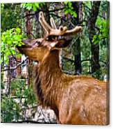 Browsing Elk In The Grand Canyon Canvas Print