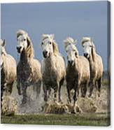 Camargue Horse Equus Caballus Group Canvas Print
