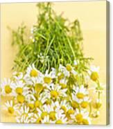 Chamomile Flowers Canvas Print