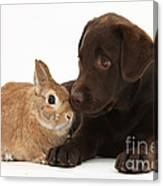 Chocolate Labrador Pup Canvas Print