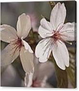 Close View Of Cherry Blossoms Canvas Print