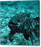 Coelacanth Fish Canvas Print