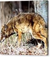 Coyote - American Prairie Wolf Canvas Print
