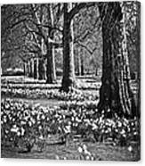 Daffodils In St. James's Park Canvas Print