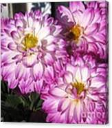 Dahlia Named Pink Bells Canvas Print