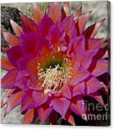 Dark Pink Cactus Flower Canvas Print